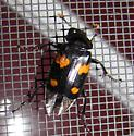Nicrophorus sp. - Nicrophorus orbicollis - female