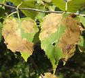 Birch leafminer? - 1 - Fenusella nana