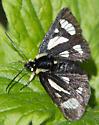 Macculloch's Forester - Androloma maccullochii