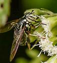 Fly? - Spilomyia fusca - female