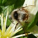 Unknown Bee - Bombus melanopygus