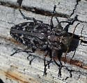which wood borer ? - Chrysobothris