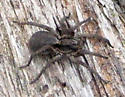 Another Wolf Spider - Hogna frondicola