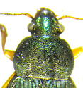 Chlaenius sp. - Chlaenius lithophilus