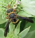 Small, Stout Wasp - Epeolus bifasciatus