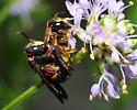 Megachilid Bees, Anthidiellum perplexum? - Anthidiellum perplexum - male - female