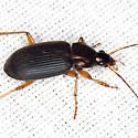 Ground Beetle - Chlaenius tricolor