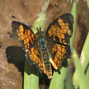 Pearl Cresent - Phyciodes tharos