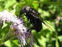 Copestylum species? - Copestylum mexicanum