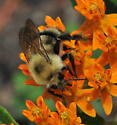 Two-spotted Bumble Bee - Bombus bimaculatus - male