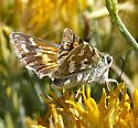 Western Branded Skipper? - Hesperia colorado