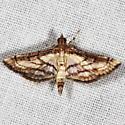 Trapeze Moth - Cnaphalocrocis trapezalis