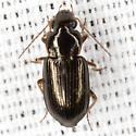 Black Beetle - Selenophorus fatuus