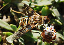 Orange County Bee Fly Archives #265 - Thyridanthrax nugator