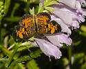 BUTTERFLY - Phyciodes tharos - male