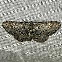 Glenoides texanaria - male