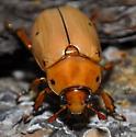 beetle - Pelidnota punctata