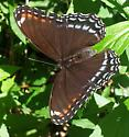 Butterfly ID Request - Limenitis arthemis