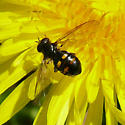 Bee/Wasp? - Pipiza quadrimaculata - female