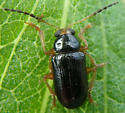 Beetle June 9 - Metachroma angustulum