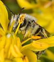 Bee - Hoplitis biscutellae
