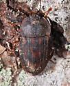 beetle on cherry bark - Stelidota