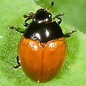Red-winged Tritoma? - Tritoma sanguinipennis