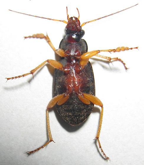 Vivid Metallic Ground Beetle - Chlaenius sericeus