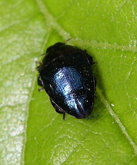 unidentified Coleoptera - Pachyschelus