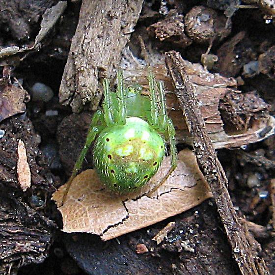 Green spider - Araneus cingulatus