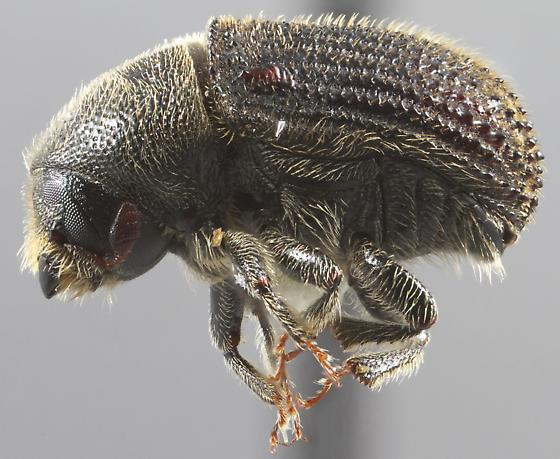 Phloeosinus cupressi