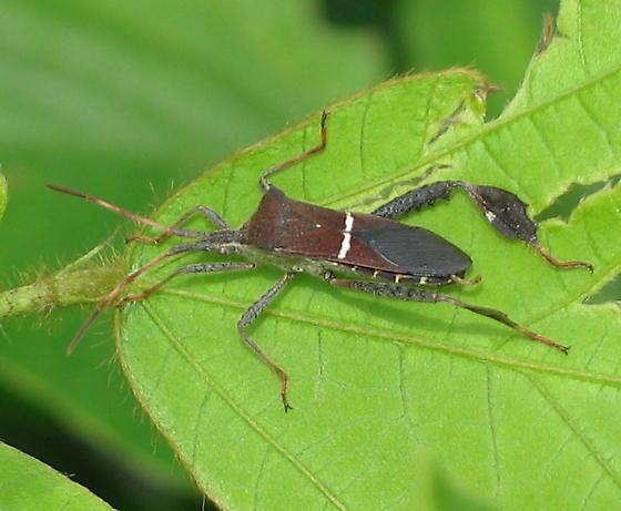 Leaf-footed Plant Bug - Leptoglossus phyllopus