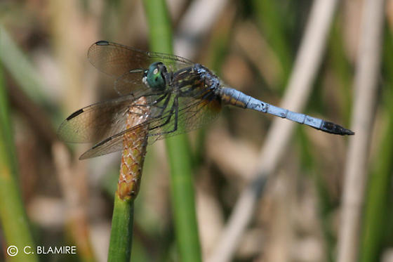 dragonflies - Pachydiplax longipennis - male