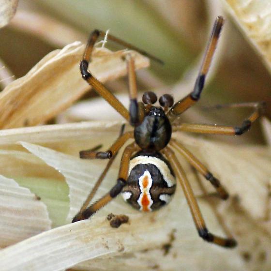 Male Black Widow? - Latrodectus hesperus - male
