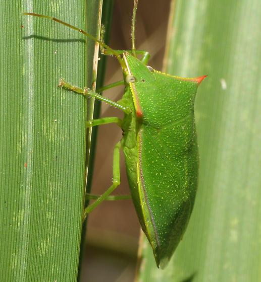 Big Stinker - Loxa flavicollis