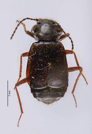Staph? - Phlaeopterus