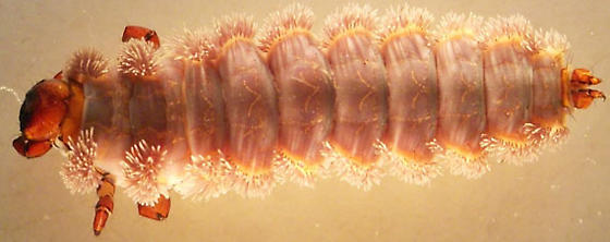 Himalopsyche phryganea (Ross, 1941) - Himalopsyche phryganea