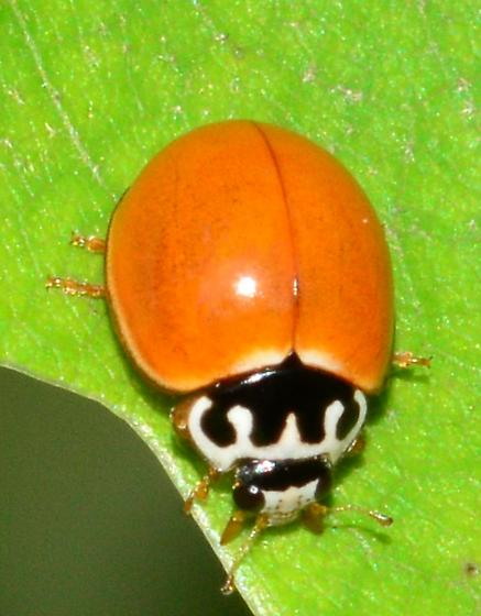Spotless Lady Beetle - Cycloneda munda? - Cycloneda munda