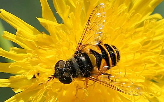a Syrphid fly? - Eristalis transversa