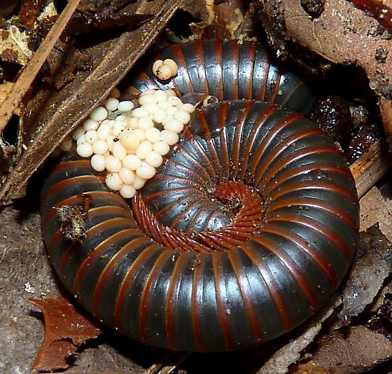 millipede with eggs - Narceus americanus-annularis-complex - female