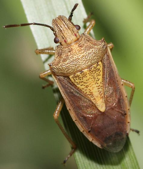 Stink Bug again - Oebalus mexicanus