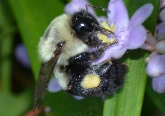Bee? - Bombus impatiens - female