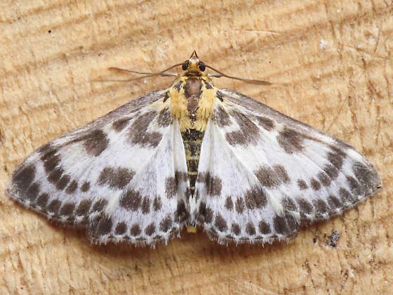 4952 Small Magpie - Anania hortulata