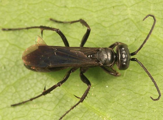 Spider Wasp - Anoplius