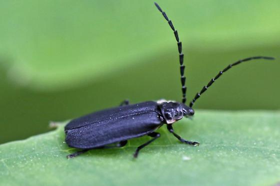 soldier beetle - Polemius