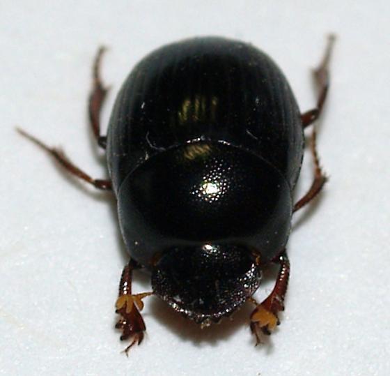 Dung beetle - Pseudocanthon perplexus