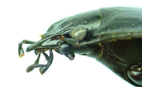 D. furvus - Dicaelus furvus