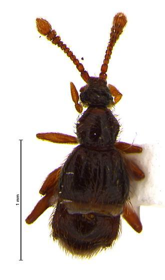 Nearctitychus sternalis