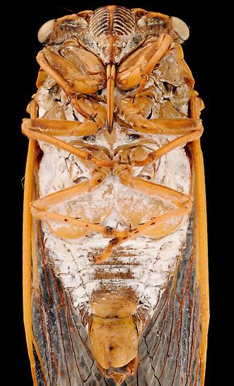 Cicada, male ventral - Megatibicen dealbatus - female