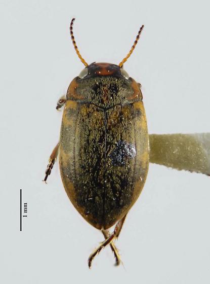 Boreonectes striatellus - Stictotarsus striatellus? - Boreonectes striatellus